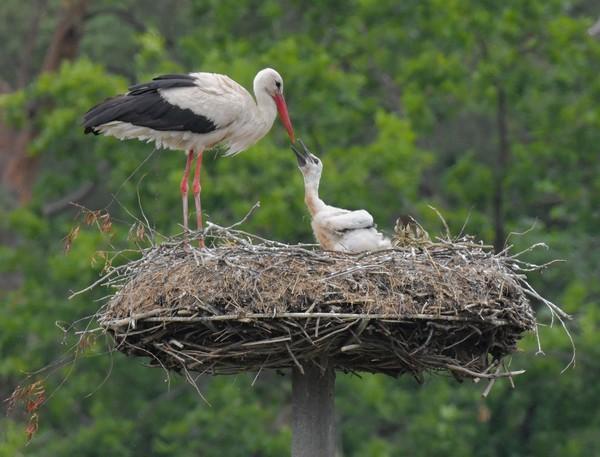 Rühstädt gilt als europäischer Storchen-Hotspot. Foto: dpa