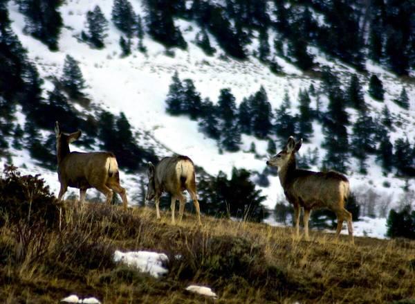 Global warming shortens spring feeding season for mule deer in Wyoming