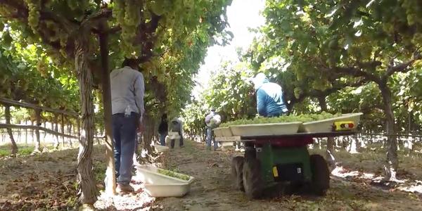 Autonomous farm robot Burro assists human workers with grape harvest