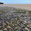 Tote Fische an Nordsee: Ursache für Fischsterben beschäftigt Wissenschaftler