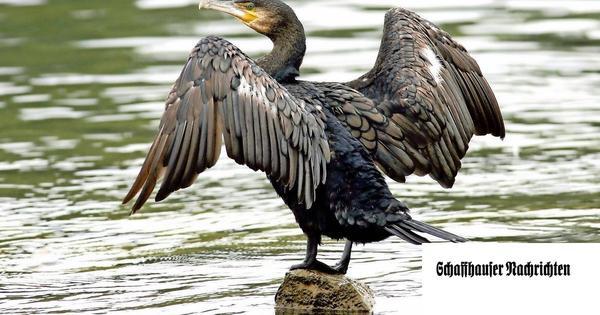 Konflikt um Wasservogelreservat im Rhein