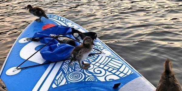 Entenküken kapern SUP-Board auf dem Petzinsee
