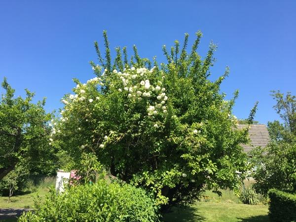 Von Rosen erobert – eigentlich ein Pflaumenbaum (Foto: Rita Hoff)
