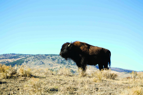 Park Service, U.S. Forest Service propose new analysis of Yellowstone National Park bison management