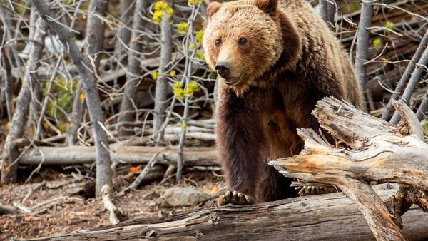 Appeals court tosses Yellowstone grizzly bear delisting