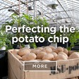 Perfecting the potato chip