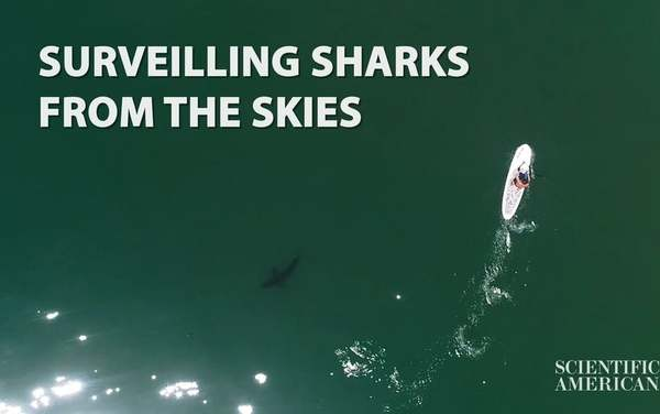 Drones Capture Close Encounters between Great White Sharks and Beachgoers - Scientific American