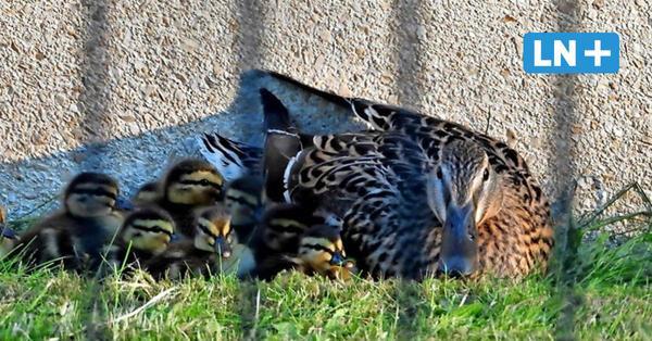 Einbruch ins Gefängnis: Entenfamilie will in die JVA Lübeck