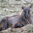 New Zealand Tahr Management Takes Step in Right Direction
