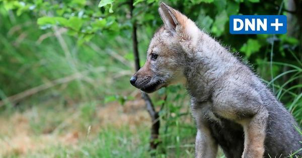 Wölfe in Dresden: Zehn Dinge, die Sie darüber wissen müssen
