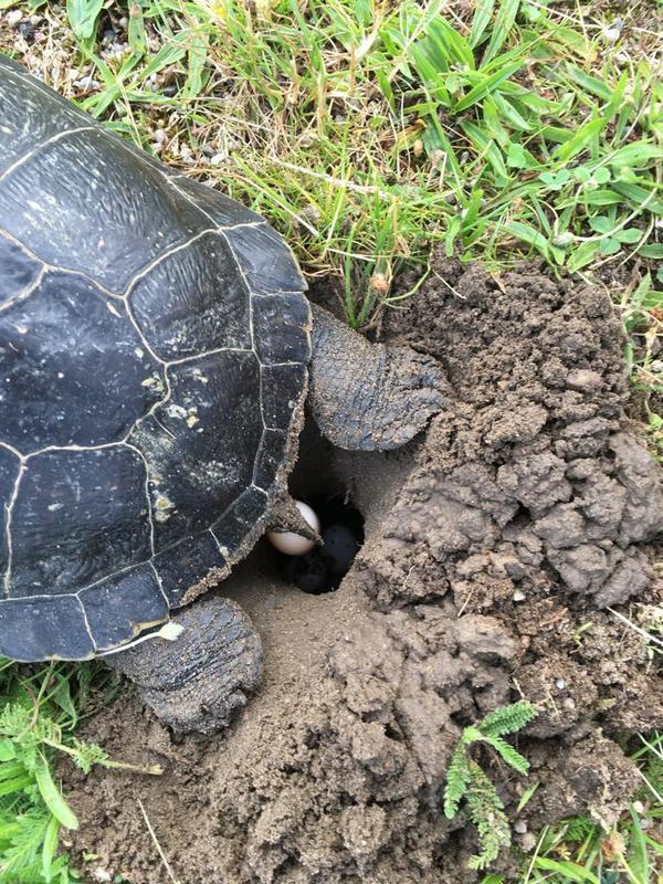 Die Gelbwangen-Schmuckschildkröte beim Eierlegen. Foto: privat