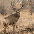 North Dakota man guilty of poaching giant mule deer buck in New Mexico