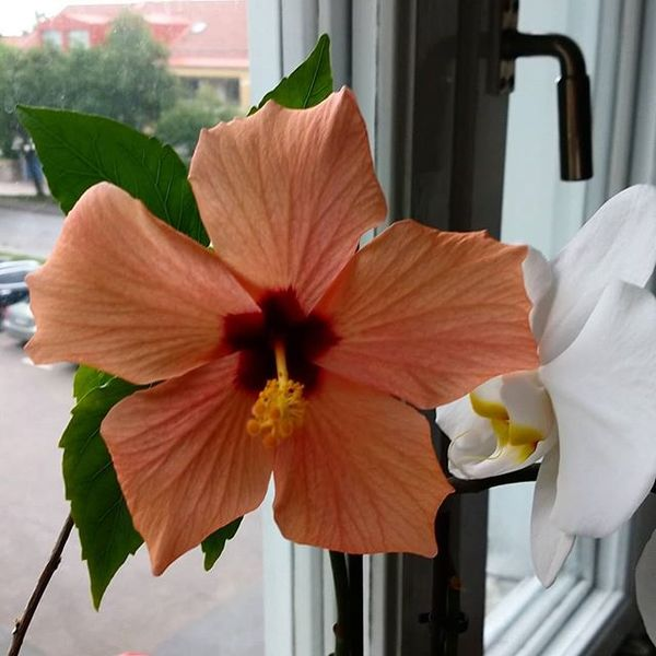 My orange Hibiscus finally blossomed again!