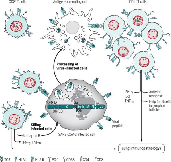 Skomplikowany rysunek czyli o zapomnianych limfocytach T