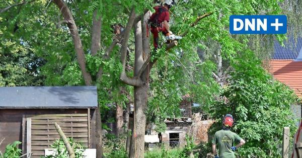 Naturschutzgesetz: Bäumefällen soll in Sachsen stärker kontrolliert werden