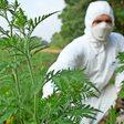 Ambrosia: Wie gefährlich die Pflanze ist und wie man sie erkennt