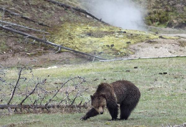 Grizzly attacks in 2020 run at record high