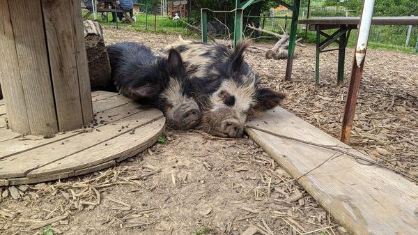 Auch unter den Bewohnern des Hofes: Neuseeländische Kunekune-Schweine. Foto: Nadine Wolter