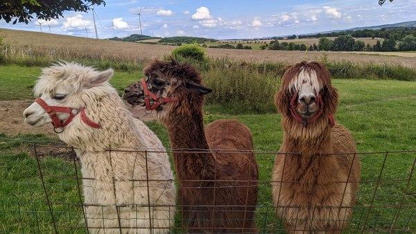 Lassen sich bereitwillig füttern, haben aber auch Möglichkeiten, sich zurückzuziehen: Die Alpakas auf dem Ponyhof Küppers. Foto: Nadine Wolter