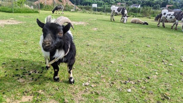Ziegen, Schafe und Miniaturesel sowie -rinder gibt es auf der Streichelwiese. Foto: Nadine Wolter