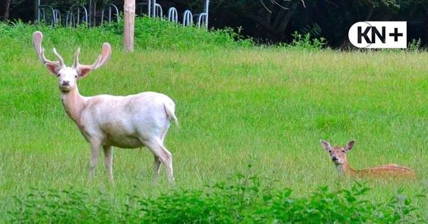 Wildgehege am Kanal: Der weiße Hirsch aus Suchsdorf