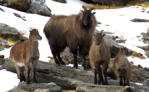 Official Statement from The New Zealand Professional Hunting Guides Association Regarding Tahr Management