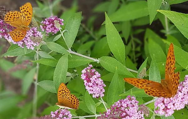 Viel Wissenswertes über Schmetterling & Co. erfährt man beim NABU-Insektensommer. Foto: Annett Riedel