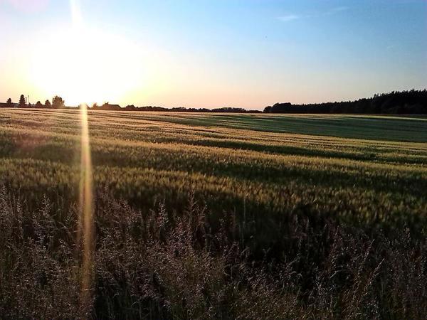 Sonnenuntergang über einem Kornfeld in Rotta. Foto: Mark Daniel
