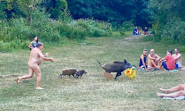 You swine! German nudist chases wild boar that stole laptop