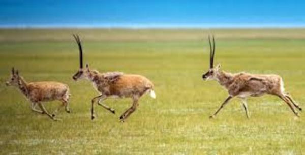 Drones monitor migration of 60,000 Tibetan antelopes