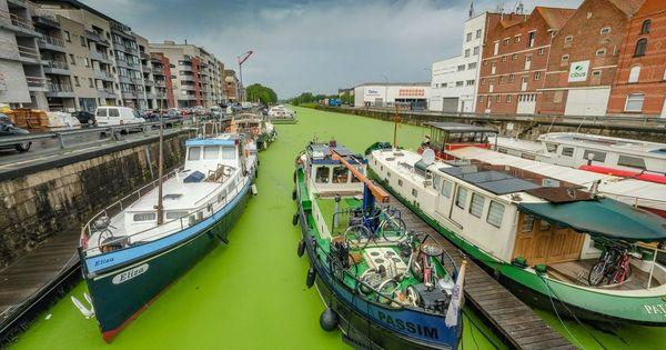 Invasion de lentilles d'eau colore l'eau du port d'Ypres en vert. - Eendenkroos kleurt Ieperse haven knalgroen.