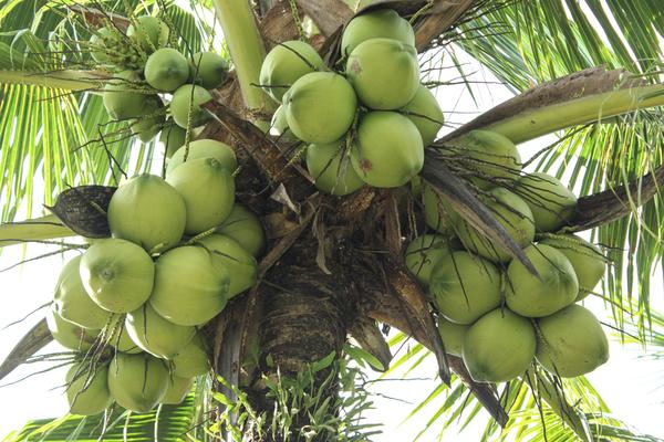 Kokosnüsse, bereit zum Pflücken