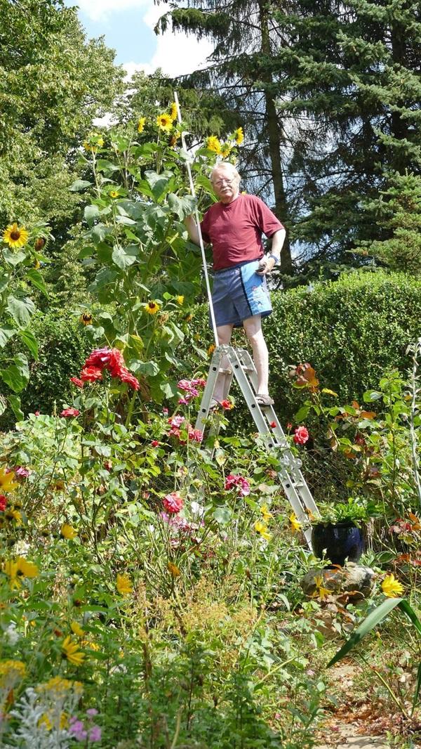 3,75 Meter groß ist die Sonnenblume von Reimar Behnke aus Grevesmühlen.