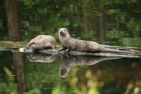 Possierlich: die Tiere im Otterzentrum. (Foto: Aktion Fischotterschutz e.V.)