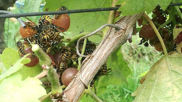 Cueillette de raisins précoce dans le Heuvelland. - Vroege druivenpluk in Heuvelland