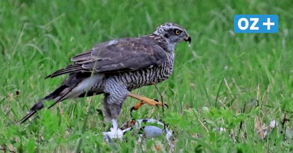 Naturschauspiel in Wolgast: Habicht fängt sich im Tannenkamp eine Taube