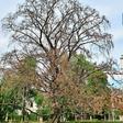 Dürre in Dresden: Schon 750 Bäume sind vertrocknet