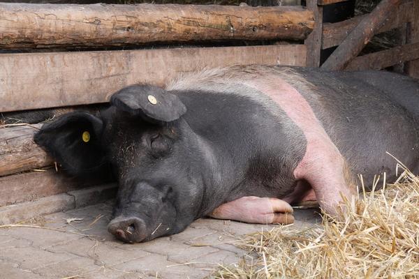 Sichtlich wohl fühlen sich die Angler Sattelschweine auf dem Michaelshof. Foto: Carolin George