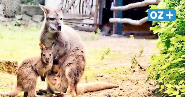Zoo Stralsund: Süßer Nachwuchs bei den Kängurus