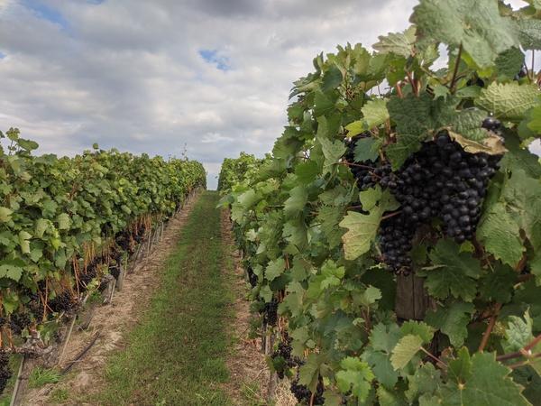 Wein soweit das Auge reicht auf dem Wachtelberg. Foto: Lars Sittig