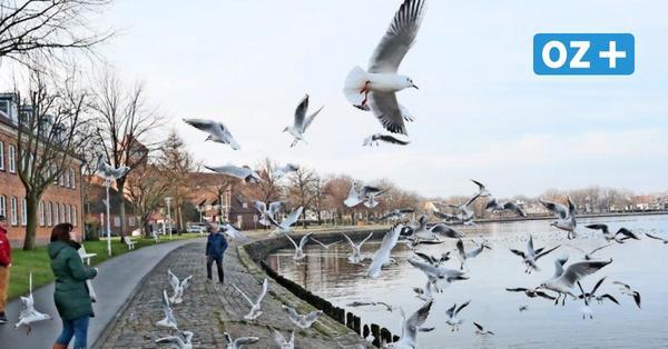 Möwenplage in Stralsund: Darum soll das Füttern der Wildvögel verboten werden