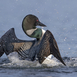 Loon population rising, but not quickly, in both Vermont and New Hampshire - VTDigger