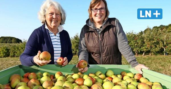 Apfelernte in Eutin: Auf Gut Schönborn wird der Holsteiner Cox gepflückt
