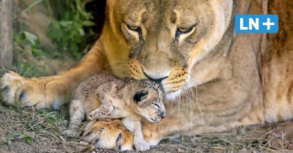 Nachwuchs bei den Löwen im Zoo Grömitz: Ayla bringt vier Babys zur Welt