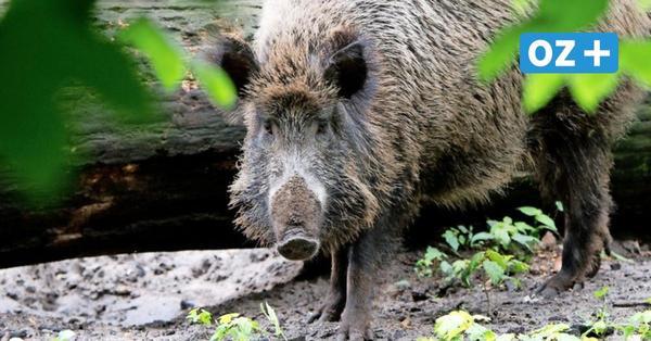 Nach Proben bei Wildschweinen: Keine Hinweise für Schweinepest in MV
