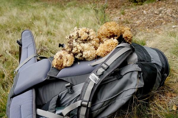 Fette Beute: Die Krause Glucke erinnert an einen Badeschwamm, ist aber ein essbarer Pilz.