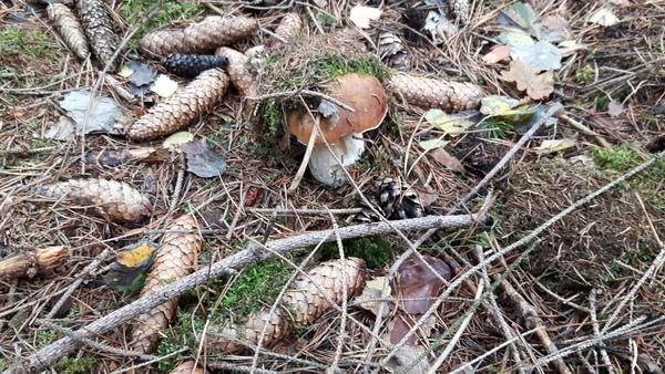 Im Zellwald sind vor allem Steinpilze und Maronen zu finden. Foto: Dieter Grieger