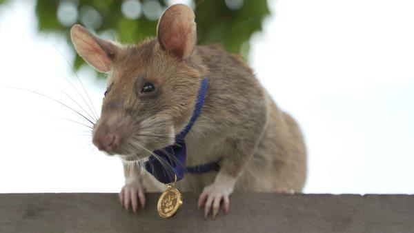 ...die Ratte in Kambodscha, die für ihre erfolgreiche Minensuche einen Orden bekommen hat
