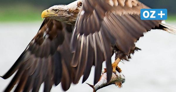 Hiddensee: Erstmals seit 140Jahren wieder Seeadler auf der Insel gesichtet