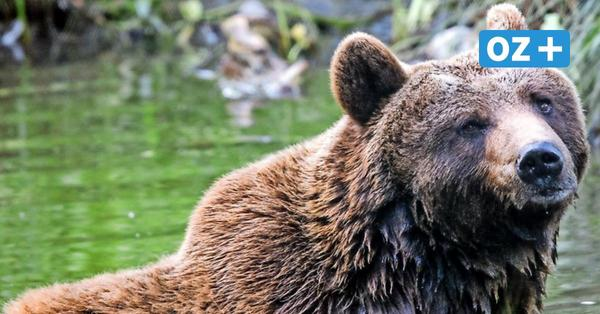 Trotz Corona-Einschränkungen: Bärenwald Müritz mit neuem Besucherrekord